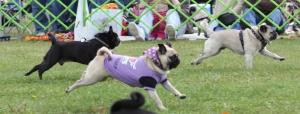 pug-race